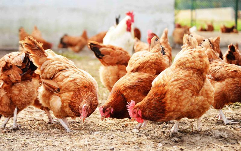 avicultura1